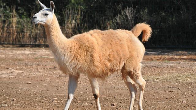 Insolite : un lama coincé dans un arbre