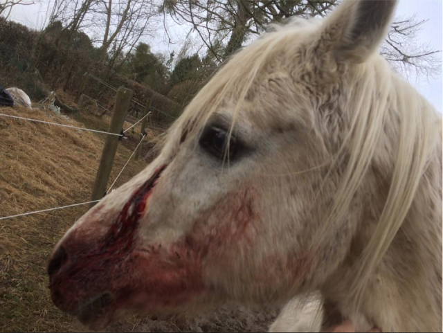 Un cheval de l'ASBL Equi-Liberty de La Hulpe sauvagement blessé