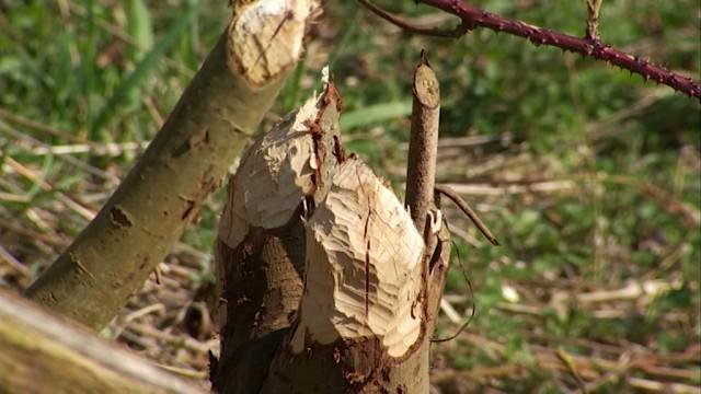 Les castors sauvés à Walibi : réactions des responsables du parc
