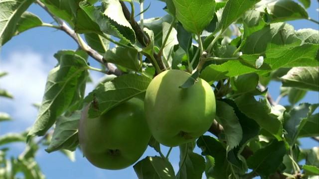 Brabant wallon : maigres récoltes de pommes