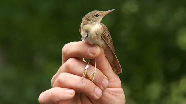 Beauvechain : Baguage des oiseaux migrateurs