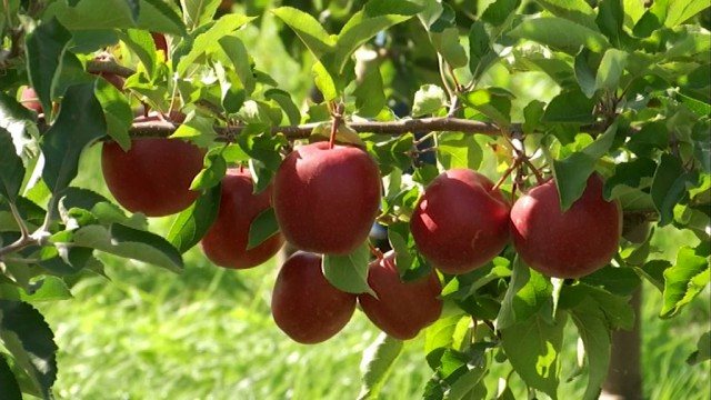 Gros pépins pour les  producteurs de pommes et de poires !