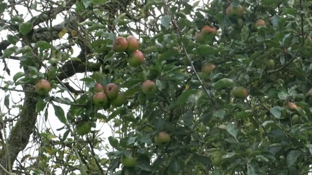 Découvrez 250 espèces de pommiers dimanche à La Hulpe