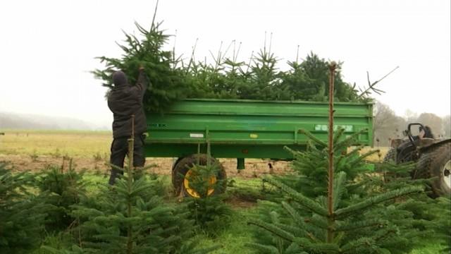 Des sapins de Noël cultivés à Court-Saint-Etienne
