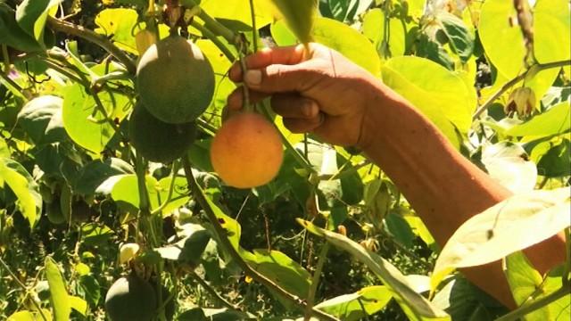 Iles de Paix : en s'associant avec ses voisins, Napoléon vend mieux ses fruits