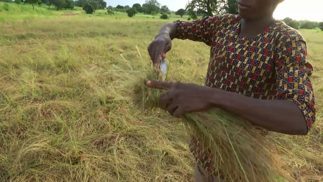 testBénin : la culture du fonio, céréale incontournable de l'Atacora