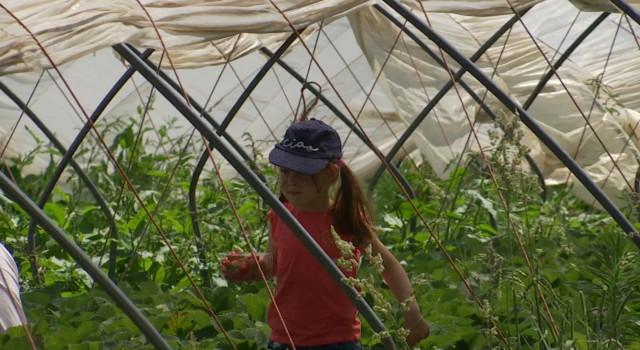 Ittre : cueillette de fraises ouverte à tous