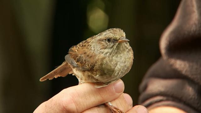 Station de baguage : 6.000 oiseaux migrateurs étudiés à Beauvechain