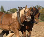 Les chevaux du Tour Ste-Gertrude