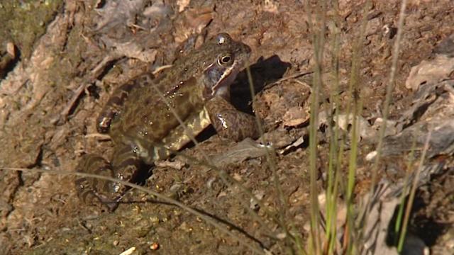 Aider crapauds, grenouilles et tritons à franchir nos routes