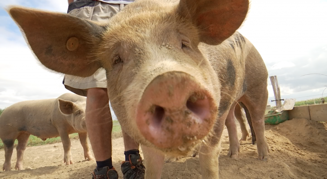 Au groin du village, l'élevage porcin en plein air à Beauvechain