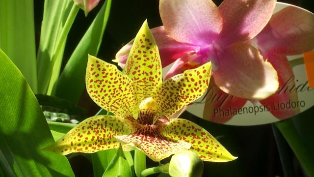 Exposition et vente de 200 variétés d'orchidées ce WE  au Moulin Banal à Braine-le-Château