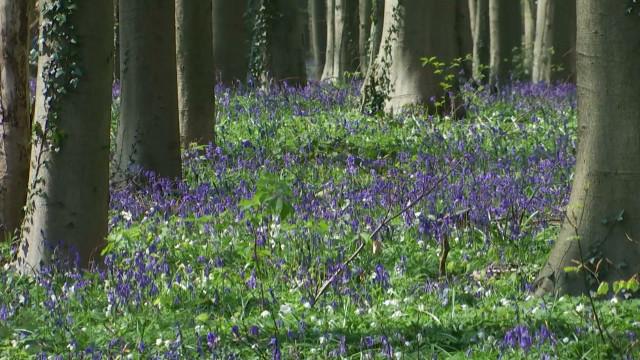 Floraison des jacinthes au Bois de Hal : voici comment préserver cette beauté !
