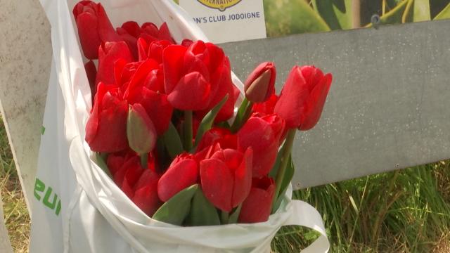 Dernier week-end pour les tulipes du cœur à Incourt