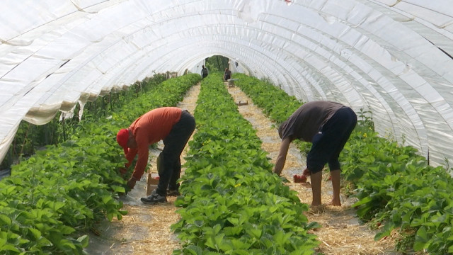 À Ittre, la cueillette de la fraise lambada est ouverte !