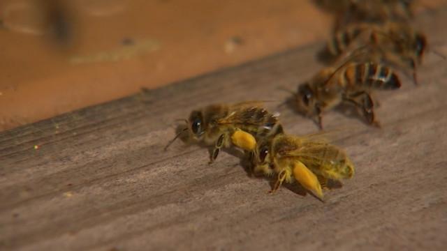 La météo de ce printemps n'est pas favorable aux abeilles