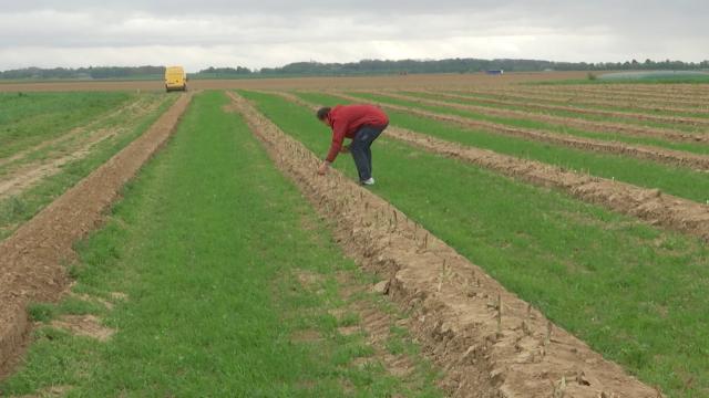 La récolte des asperges retardée, la faute au mauvais temps