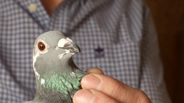 testAu tour des pigeons de se déconfiner !