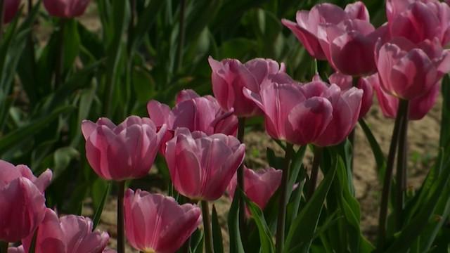 Le Lion's Club de Jodoigne commence la vente des Tulipes du Coeur