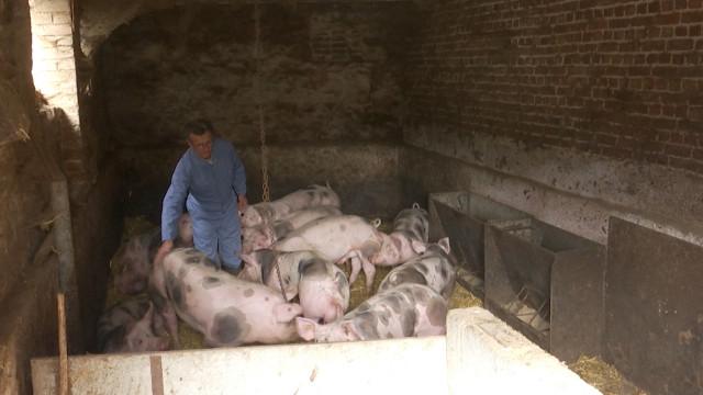 Les éleveurs brabançons de porc Piétrain sont inquiets