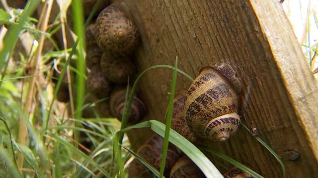 Les Gris de Corbais, un élevage d'escargots 100% artisanal