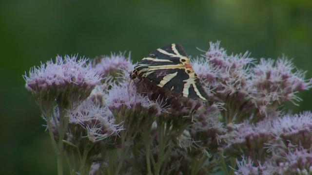 Les papillons :  le baromètre de la biodiversité de votre jardin
