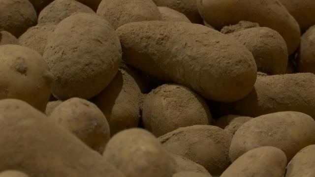 Pommes de terre bio : des centaines de tonnes gaspillées en Wallonie