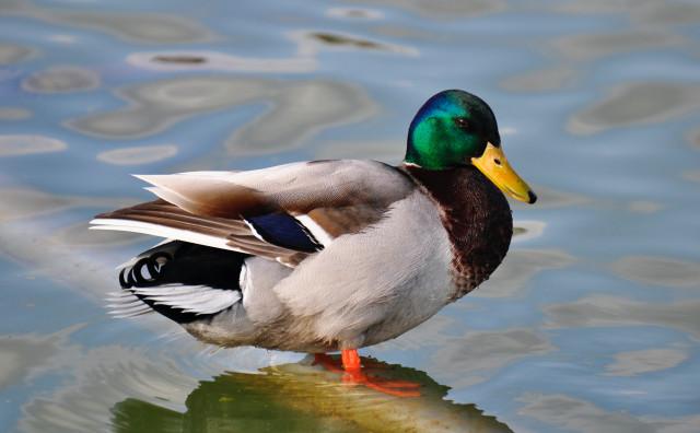 testRetour de la grippe aviaire : les oies et canards de la Dodaine confinés !