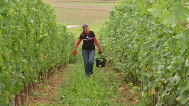 Vendanges au Domaine W à Saintes, le seul à produire du vin effervescent  bio et biodynamique en Belgique